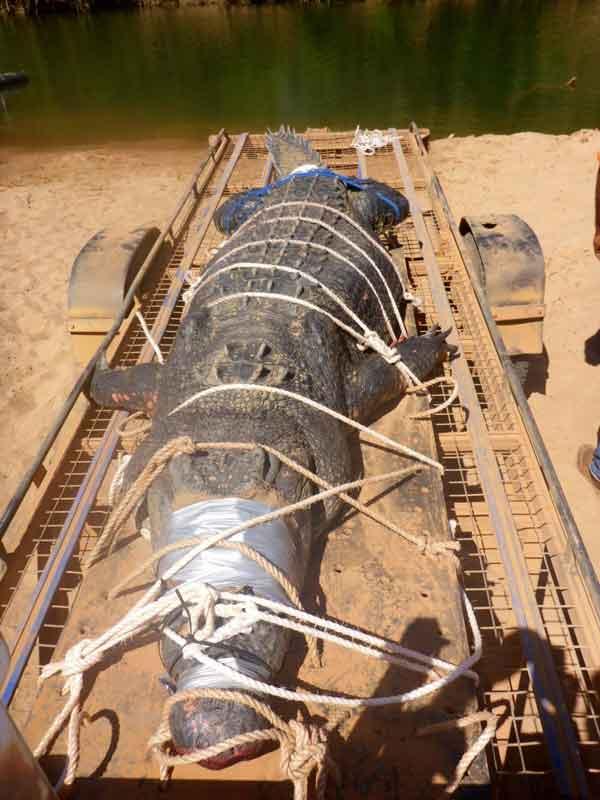 巨型鱷魚遭捕獲,身長4.5米體重達1200斤