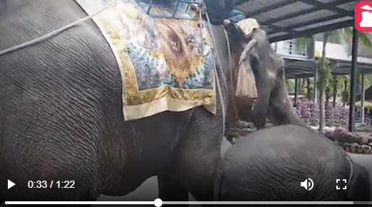 陪伴妈妈一起被骑 小象体力不支倒地