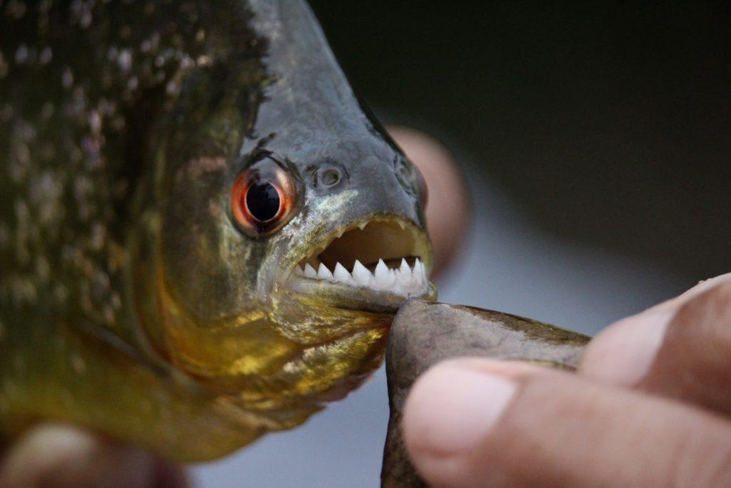 面对谋反将军,金正恩丢他入池喂食人鱼