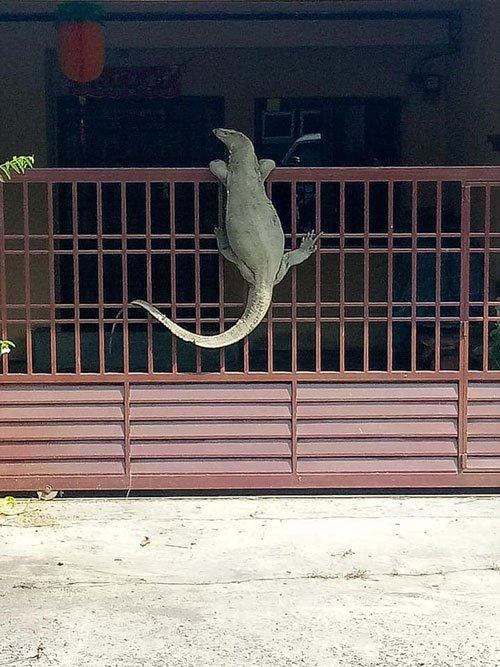 """住宅区内惊现""""小鳄鱼""""?Nonono,巨型四脚蛇来敲门"""